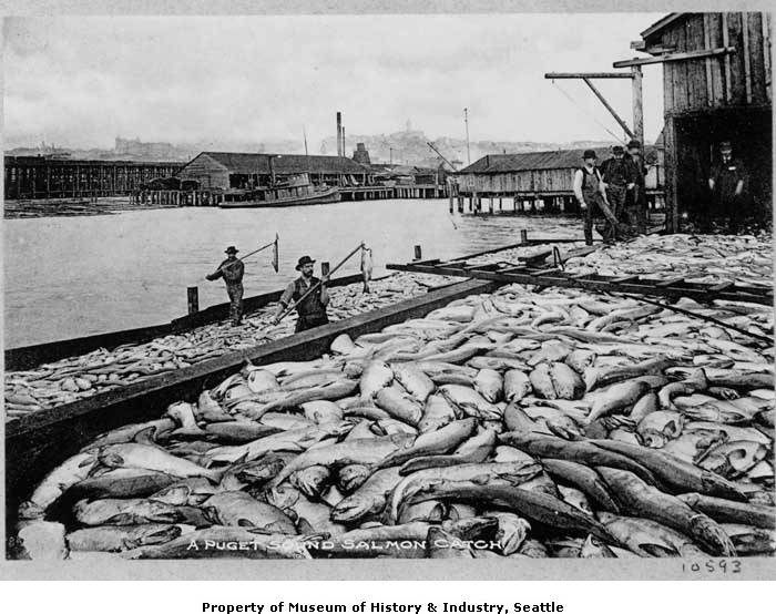 Mid Sound Fisheries Enhancement Group » A Brief History of Salmon